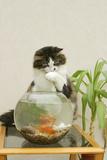 Catching Goldfish in Bowl Photographic Print