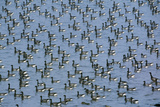 Brent Geese Large Flock Resting on the Sea Photographic Print