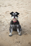 Mini Schnauzer Dog on Beach Photographic Print