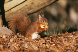 Red Squirrel with Nut, on Woodland Floor, in Leaves Photographic Print