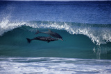 Two Bottlenose Dolphins Surfing in Breaking Wave Photographic Print