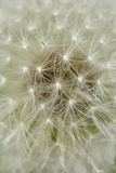 Dandelion Head with Seeds Photographic Print