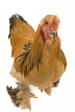 Chicken Buff Brahma Photographic Print