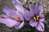 Saffron Crocus Source of Saffron Photographic Print