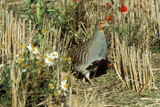 Grey Partridge Male in Stubble with Poppies and Daisies Photographie