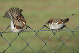 House Sparrows 2 Males Fighting on Garden Fence Photographie