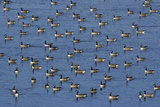 Canada Geese Resting on Grindon Lough in Autumn Photographic Print