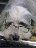 Bearded Collie Dog Lying Down Asleep Wearing Spectacles Photographic Print