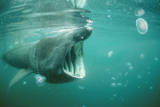 Basking Shark and Jellyfish Photographic Print