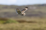 Short-Eared Owl Hovering over Moorland Photographic Print