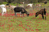 Goats Herd Grazing Through Field of Scarlet Peacock Photographic Print