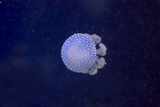 White-Spotted Jellyfish Photographic Print