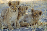 Lion Three 8 Weeks Old Cubs Fotografisk tryk