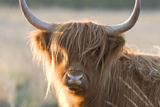 Highland Cattle Photographic Print