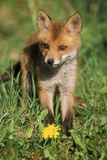 European Red Fox Cub Photographic Print