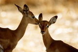 Impala Fawns Photographic Print