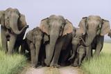 Asian Elephant Group on Jungle Track Photographic Print
