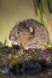 Water Vole Photographic Print
