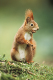 Red Squirrel Holding Nut in Mouth Fotografisk tryk