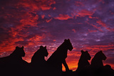 Lions at Sunset Fotografisk tryk