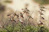 Zebra Finches in Tree Photographic Print