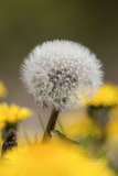 Dandelion Seed Head Photographic Print