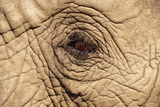 African Elephant Close-Up of Eye Fotografisk tryk