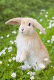 Lop Eared Rabbit Juvenile on Garden Lawn Fotografisk tryk