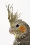 Cockatiel on Perch Reproduction photographique