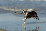 Boston Terrier Running in Sea with Stick Photographic Print