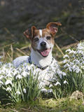 Jack Russell in Snowdrops Photographic Print