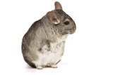 Chinchilla Photographic Print