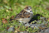 House Sparrow Male Bird Sitting on Ground Photographie