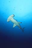 Scalloped Hammerhead Shark Photographic Print