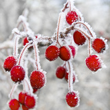 Frost Covered Red Hawthorn Berries Papier Photo
