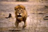 Lion Male, Charging Fotografisk tryk