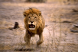 Lion Male, Charging Photographic Print