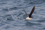 Manx Shearwater in Flight Running on the Sea Photographic Print