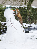 Red Fox Stealing Snowman's Nose in Winter Snow Papier Photo