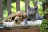 Cocker Spaniel Lying on Bench with Grey Kitten Photographic Print