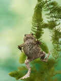 Common Toad Swimming Underwater Photographic Print