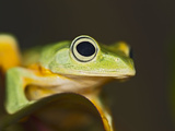 Flying Frog Close Up Photographic Print