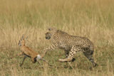 Cheetah Chasing Thomson's Gazelle Photographic Print