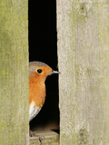 Robin Looking Out of Barn Photographic Print