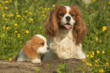 Cavalier King Charles Spaniel Dog Adult and Puppy Photographic Print