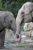 Asian Elephant 2 Animals with Trunks Entwined Photographic Print