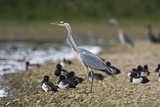 Grey Heron Standing on Stone Bank with Tufty Photographic Print