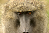 Olive Baboon Close-Up of Face Photographic Print
