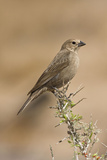 Brown-Headed Cowbird Female Photographic Print