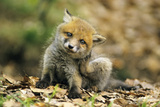 Red Fox Cub Scratching its Ear Photographic Print